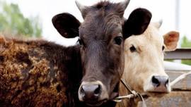 Et ithalatında sıfır gümrük süresi uzatıldı